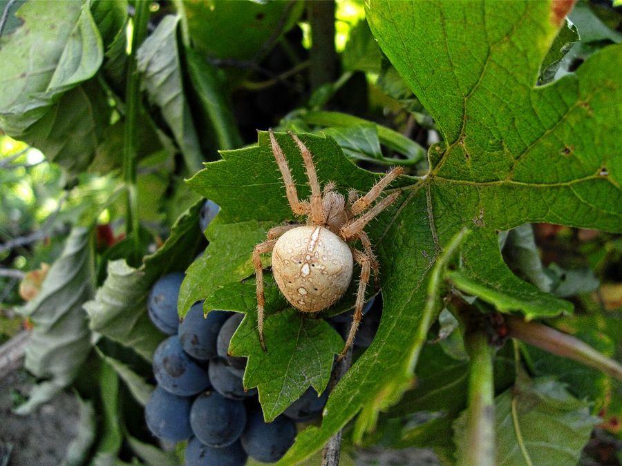 Spider Spider Closeup Spider Series Vines And Leaf GrapesLeaf Close-up Nature Photography