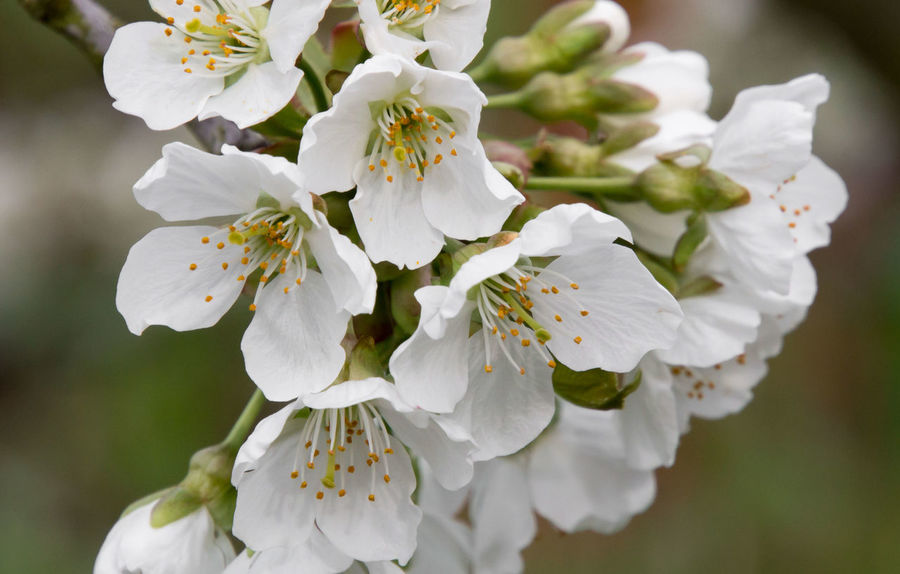 The cherries bloom in my garden Beauty In Nature Blossom Blossoms  Branch Cherry Blossom Cherry Blossoms Close-up Day Flower Flower Head Flowers, Nature And Beauty Fragility Freshness Growth In Bloom Kirschblüte Nature No People Outdoors Petal Spring Springtime Tree Twig White Color