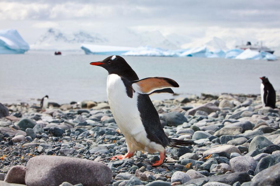 Beautiful stock photos of pinguin,  Animal Themes,  Animal Wildlife,  Animals In The Wild,  Beach
