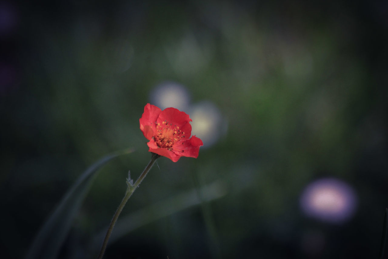 flower, nature, red, growth, beauty in nature, plant, petal, no people, fragility, close-up, outdoors, flower head, poppy, day, freshness, blooming