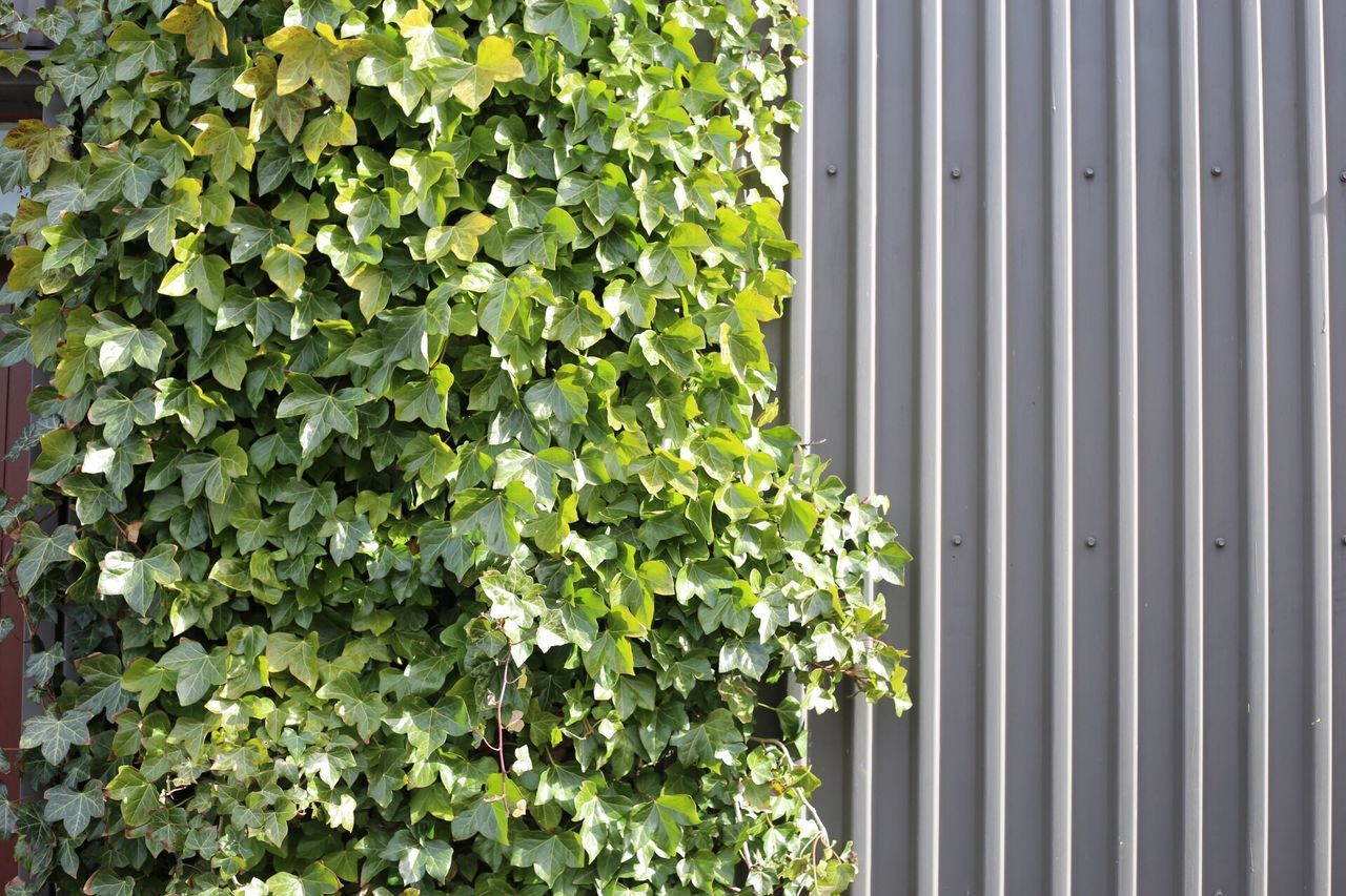 Growth Green Color Plant Leaf Ivy Day Building Exterior Architecture No People Outdoors Built Structure Nature Creeper Plant Close-up
