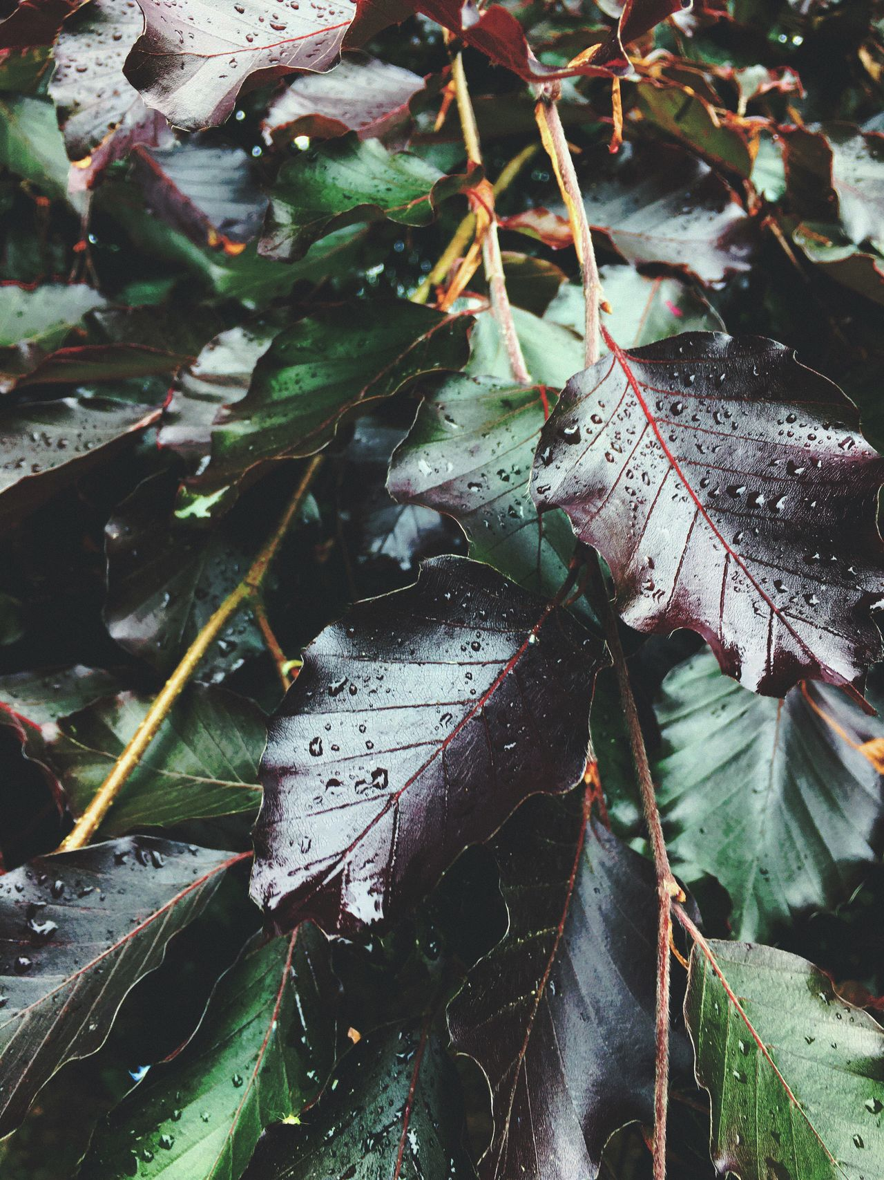 Morning Dew // iPhone6s // Leaf Outdoors Nature Close-up No People Day Plant Green Purple Summer Rain Water Waterdrops Water Droplets This Week On Eyeem EyeEm Nature Lover ShotOnIphone IPhoneography Iphone6s The Great Outdoors - 2017 EyeEm Awards