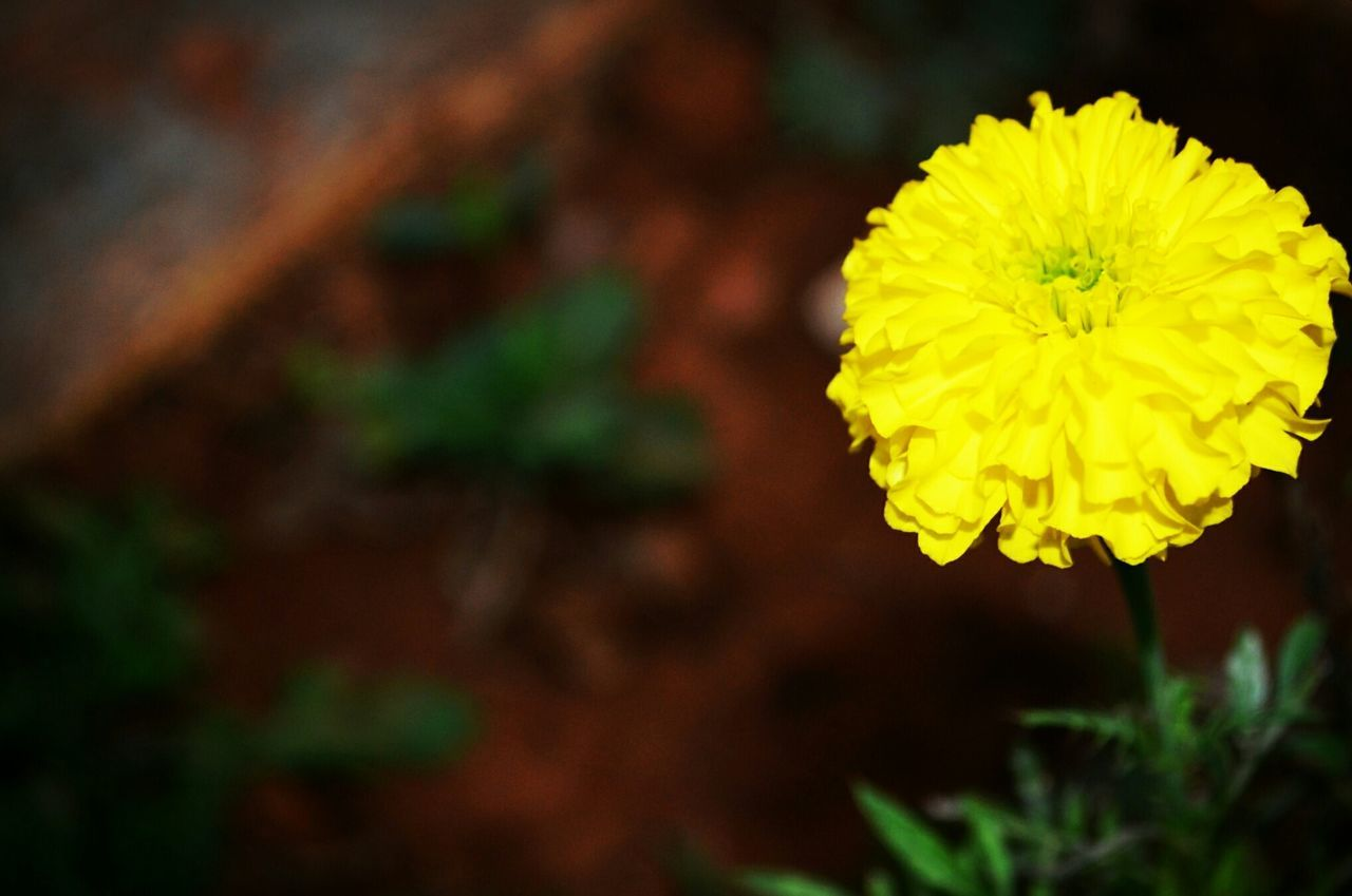 flower, yellow, fragility, petal, nature, flower head, beauty in nature, plant, freshness, growth, close-up, focus on foreground, no people, outdoors, blooming, day