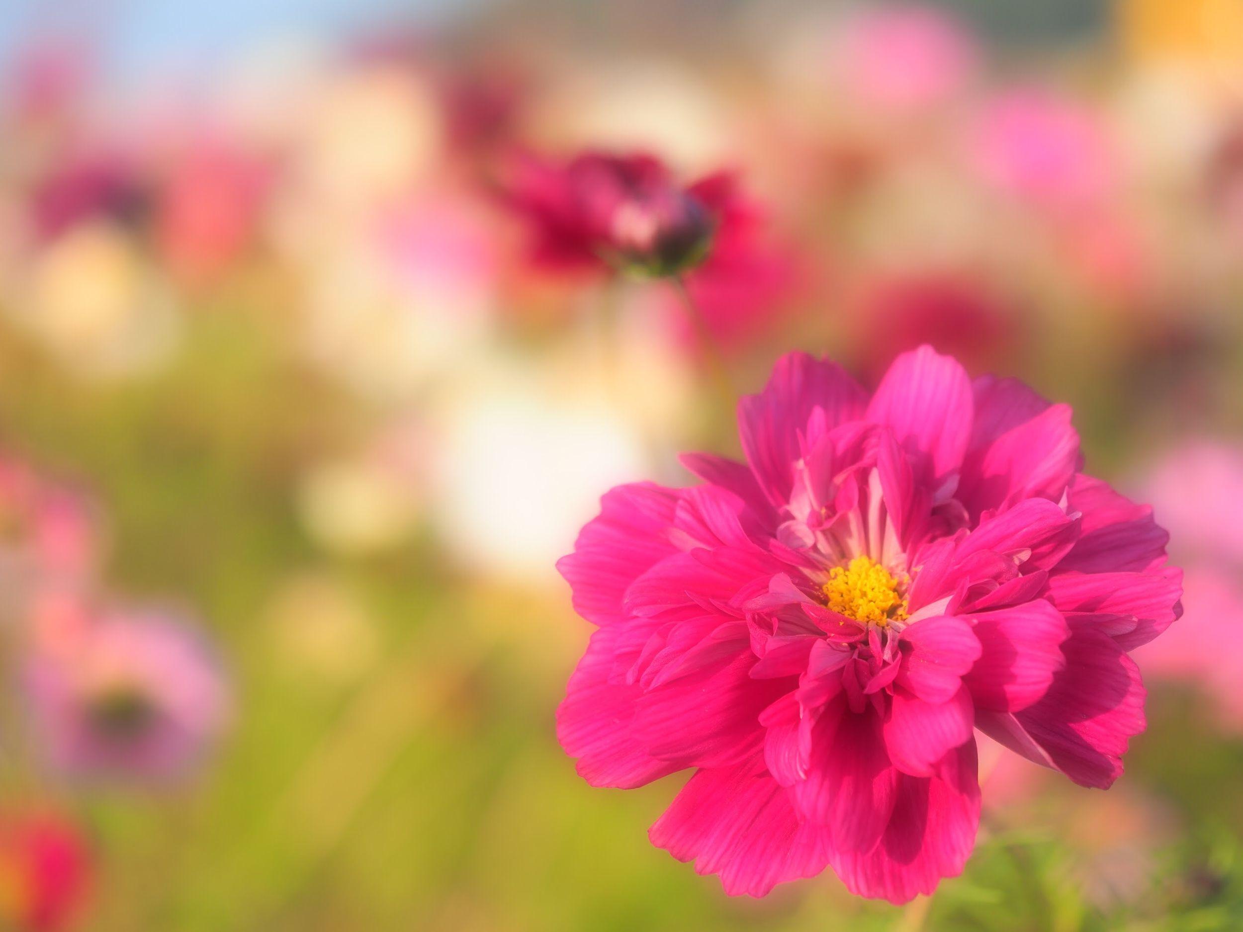 八重 コスモス Cosmos ダブルクリック Flower Collection EyeEm Flower Good Morning Taking Photos EyeEm Best Shots EyeEm Nature Lover