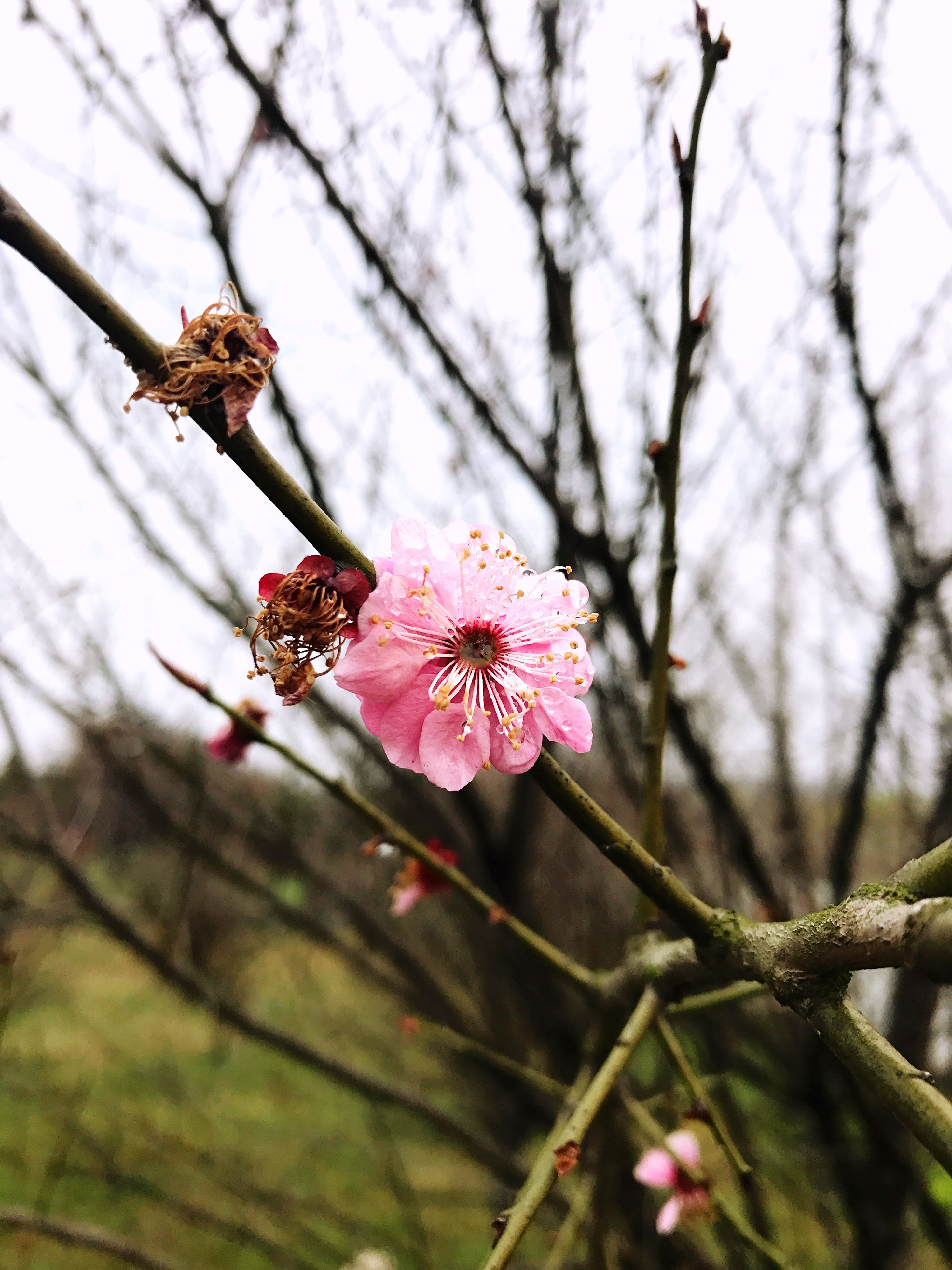 flower, pink color, nature, beauty in nature, flower head, fragility, growth, petal, freshness, branch, tree, blossom, close-up, springtime, no people, outdoors, low angle view, day, plum blossom, sky, rhododendron