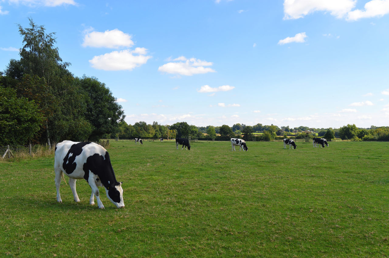 Cattle Cow Cows Cows In A Field English Cows Field Grazing Cattle Meadow
