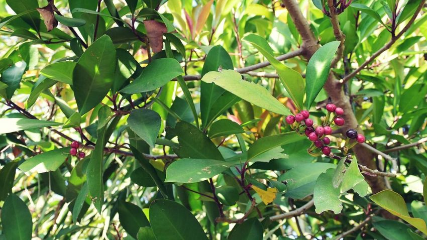 Growth Nature Tree Fruit Outdoors Green Leaves Red Purple Scenics Sunlight