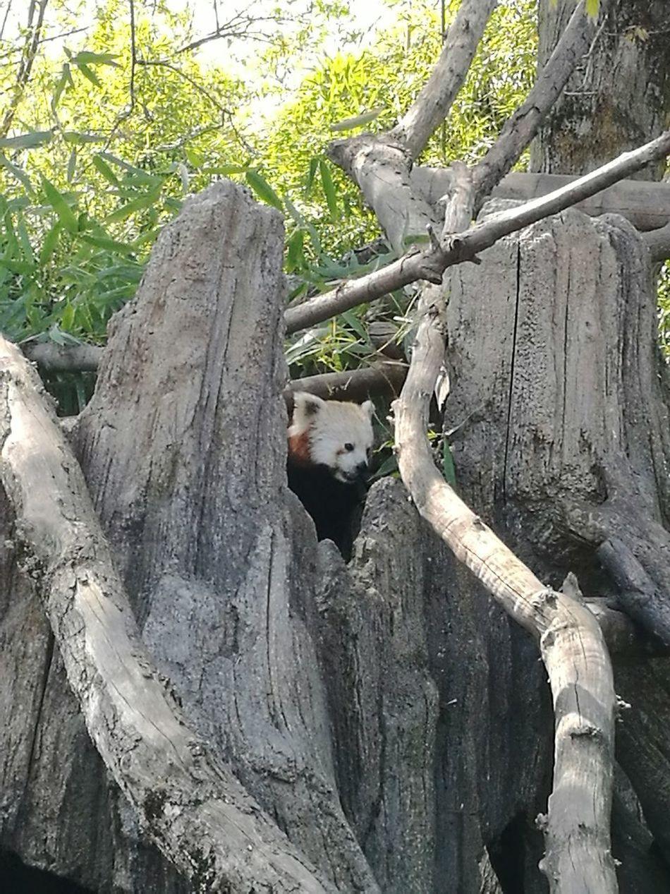 Red Panda Animal Wild