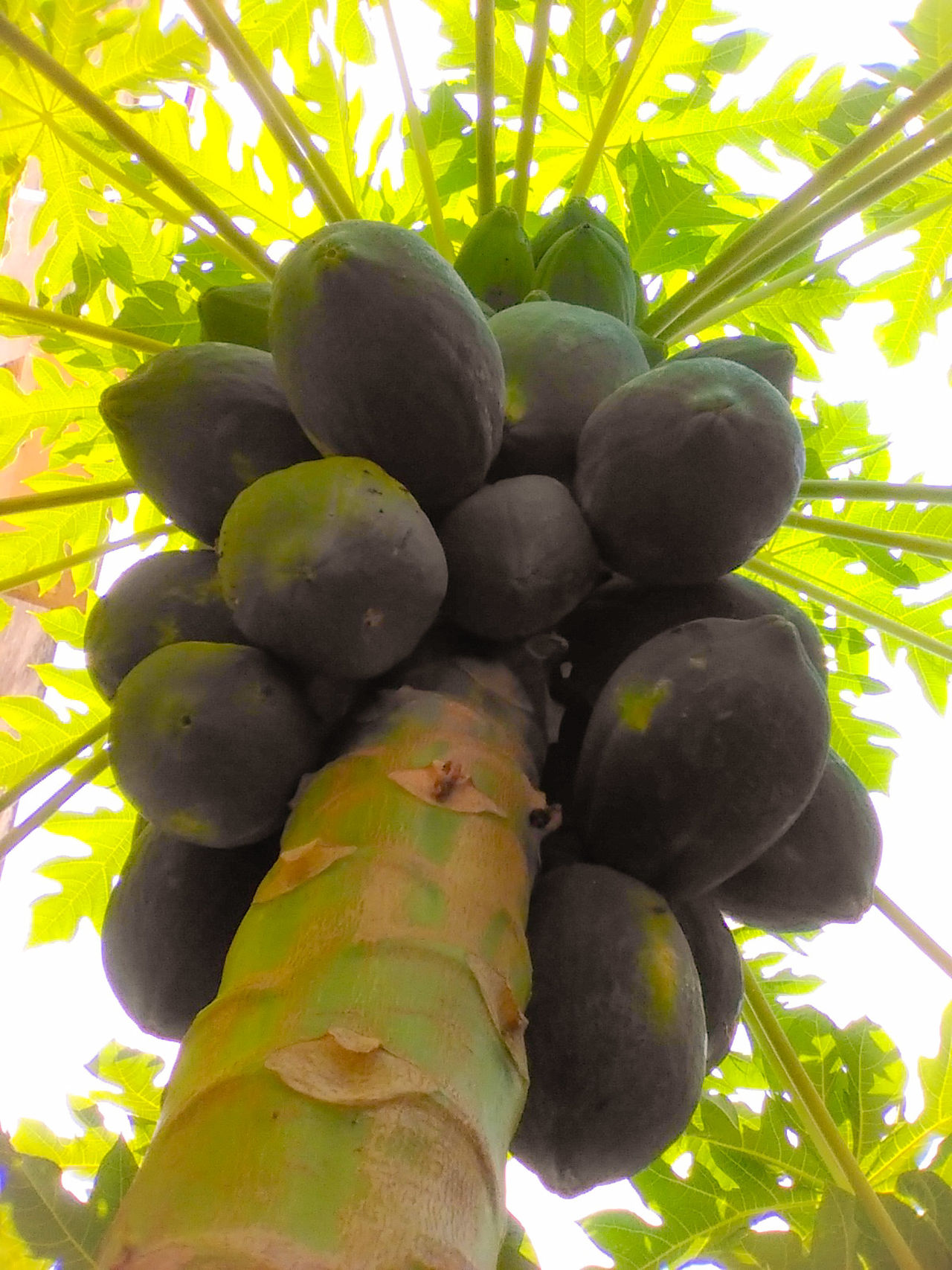 Colours Colorful Fruits Lover Fruits Fruits And Vegetables Trees Tree Papayatree Papaya Salad Papaya_tree Papaya_tree Papayas Papaya Papayasalad Papay Green Green Green!  Green Greenery Green Leaves Green Nature