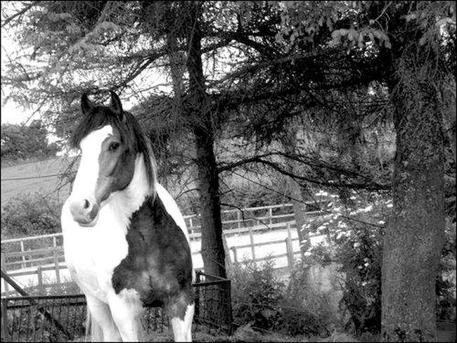 Horse Cob Shire Equine Photography Equinephotography Equine Horses Horse Photography  Horse Life