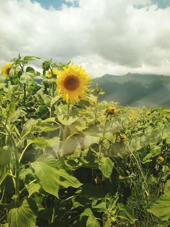 透过墨镜照出来的向日葵 Flowers Sunny Nature