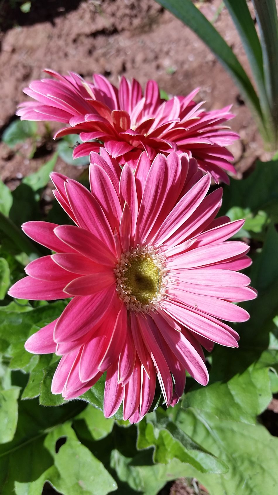 Gerberdaisies Hotpink Nature_collection Nature Photography Flowers Gardening Home Proud