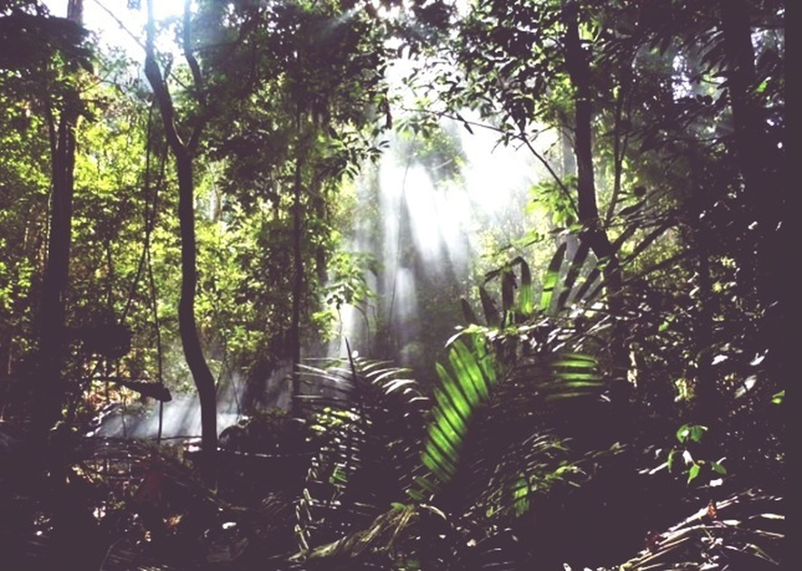 tree, growth, low angle view, forest, nature, tranquility, green color, sunlight, beauty in nature, branch, tree trunk, sunbeam, palm tree, scenics, leaf, day, tranquil scene, lush foliage, lens flare, outdoors