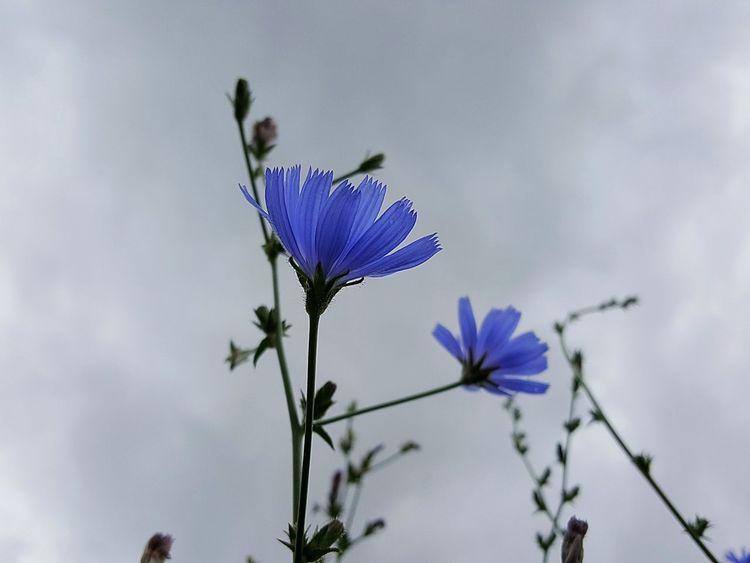 Nature Cornflower Corn-flower Flower Flowers Flower Photography Blue Blue Flowers Bluebottles BlueBottle Blue Blossom Fine Art Photography Fine Art Colorful Wild Flower Flower Collection Small Flowers