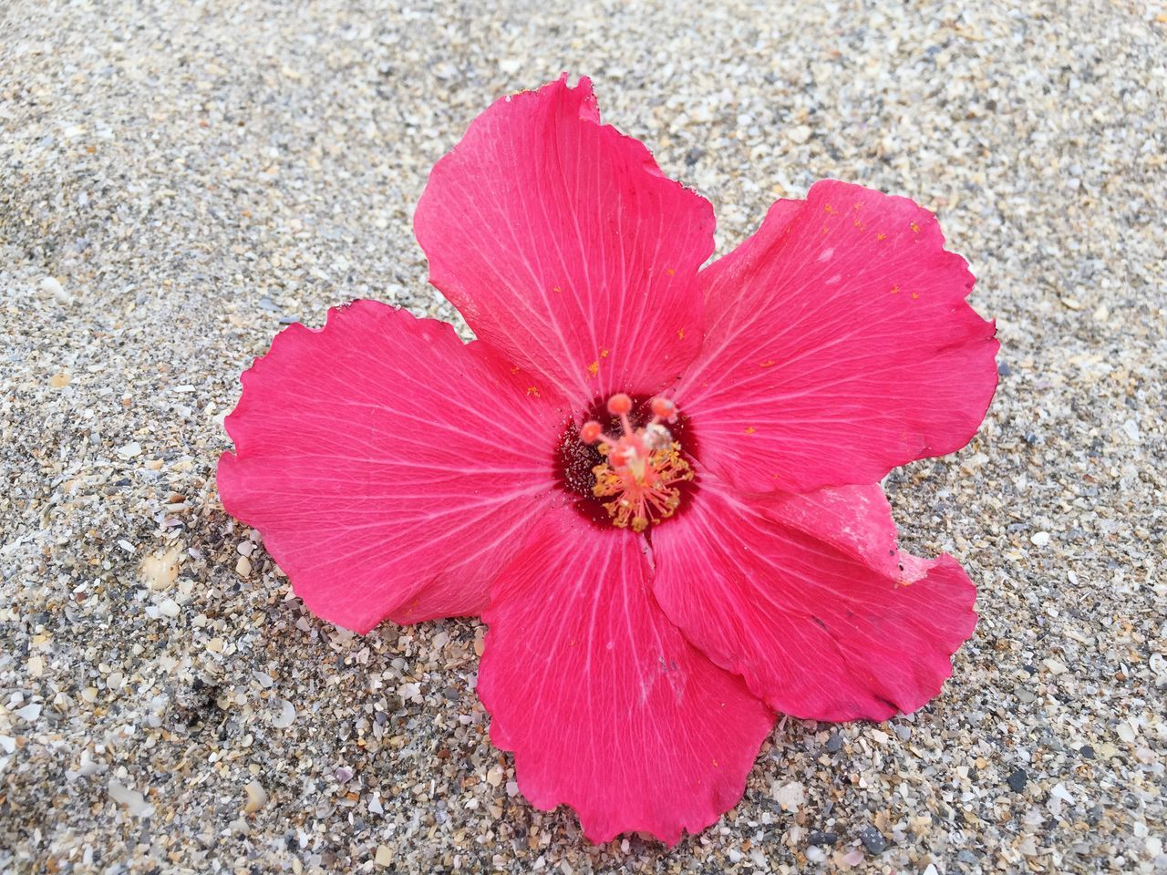 Flower Petal Nature Flower Head Fragility Day Outdoors Pink Color Hibiscus Beach Life No People Beach Photography Beauty In Nature Pollen One Animal Freshness Animals In The Wild Growth Close-up Animal Themes Blooming