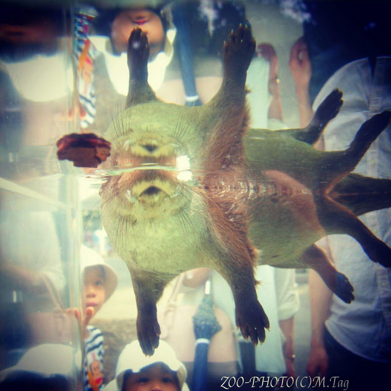 ZOO-PHOTO Zoo Animals 上野動物園 カワウソ 新種発見!