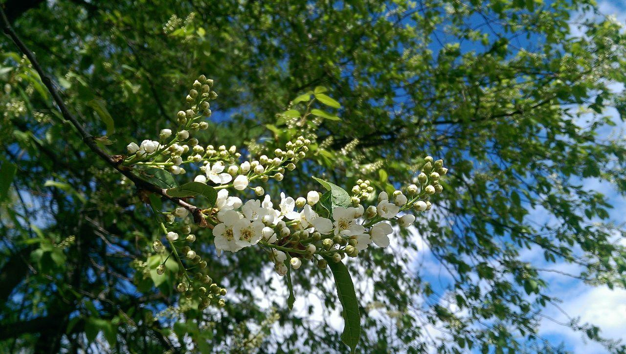 Spring Flowers Bird Cherry Tree Enjoying Life Plants
