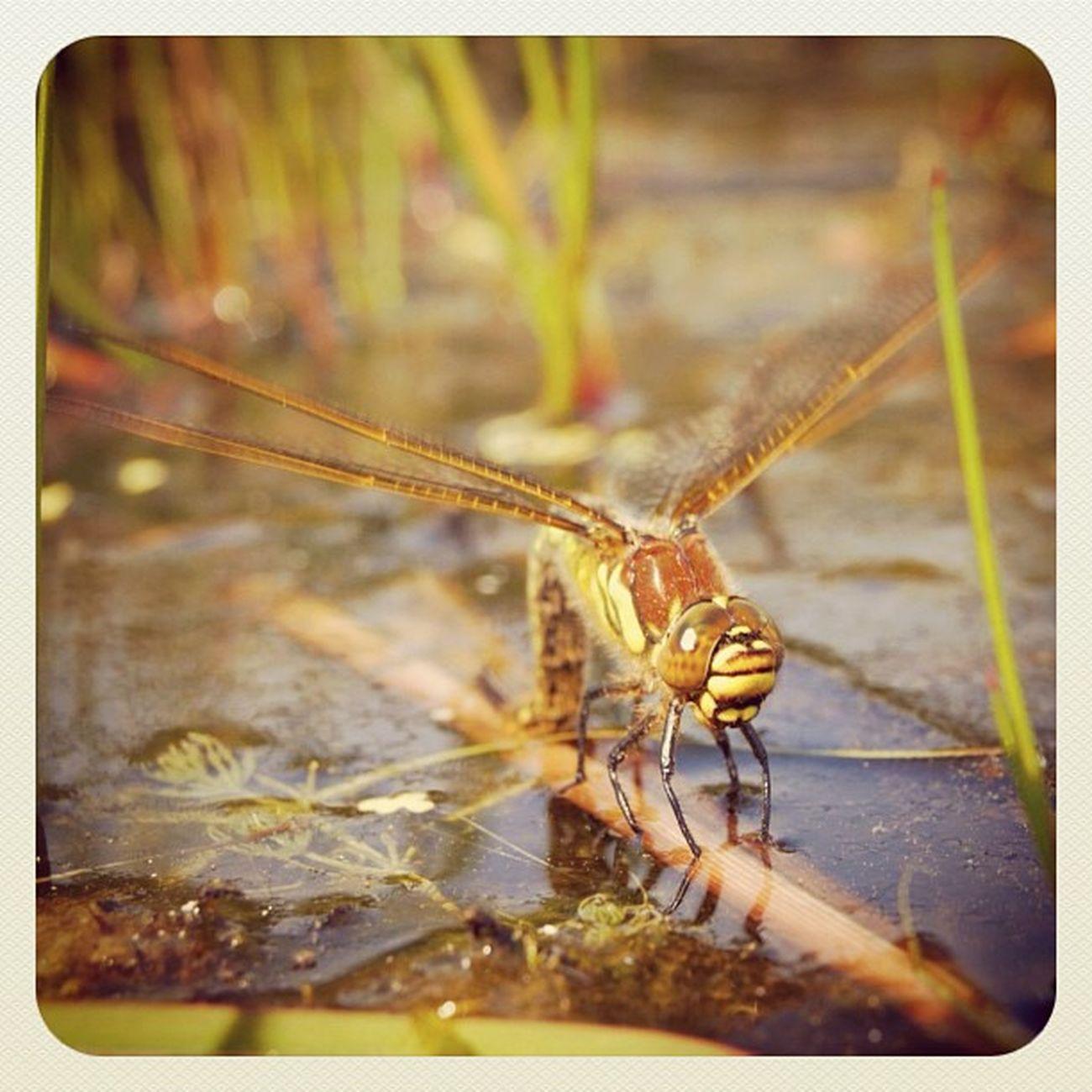 Naarden Naardermeer Libelle Dragonfly insect natuurmonumenten mooigooi ig_nature panasonic lumix