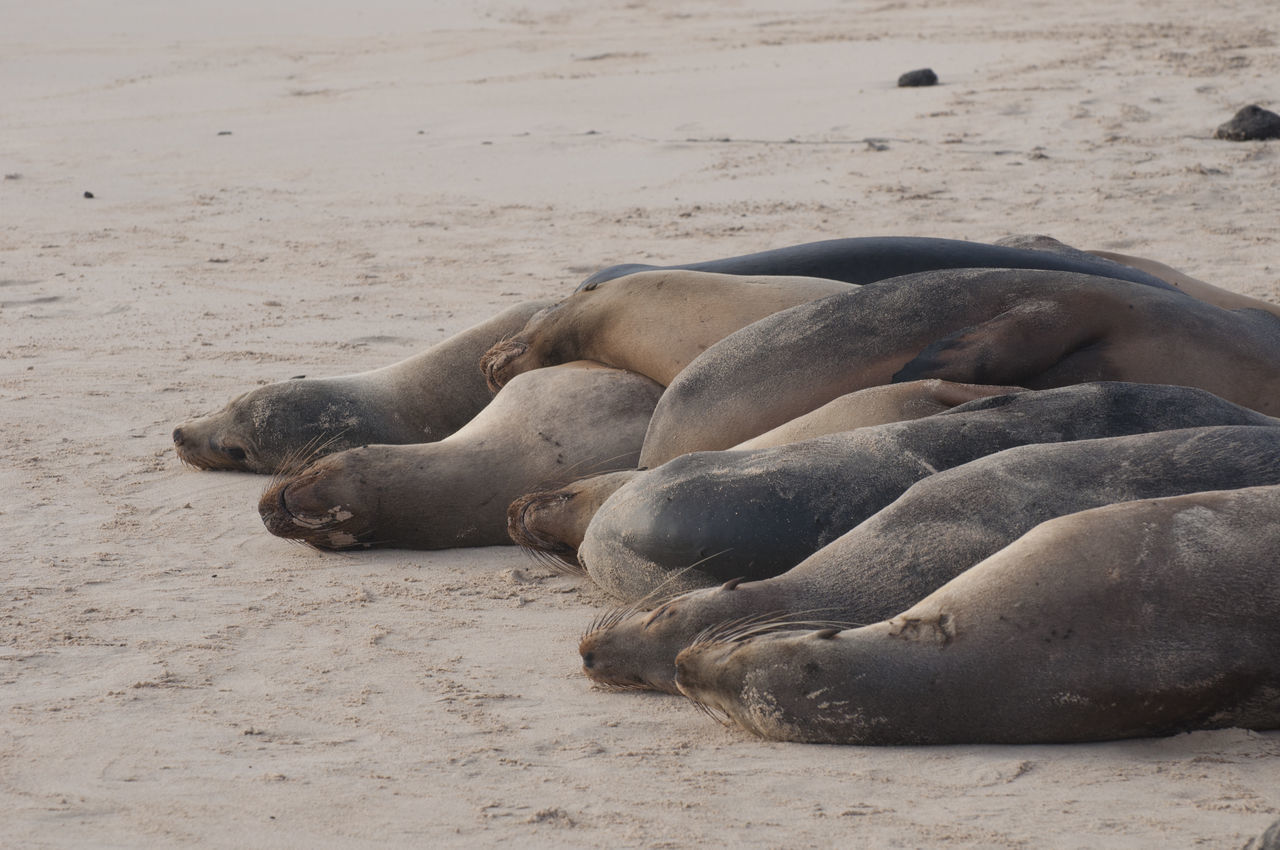 Cuddle Pile of Sea Lions Beach Cuddle Day Galapagos Group Of Animals Nature No People Pile Relaxation Sand Sea Shore Snuggle