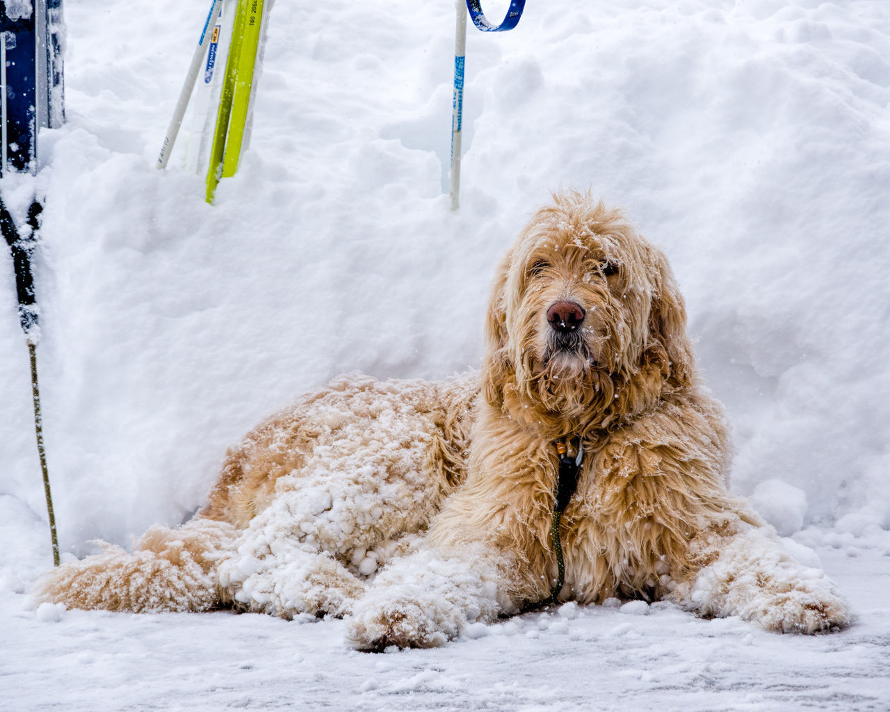 Animal Themes Cold Temperature Day Dog Domestic Animals Looking At Camera Mammal Mixed-breed Dog Nature No People One Animal Outdoors Pets Poodle Portrait Snow Winter