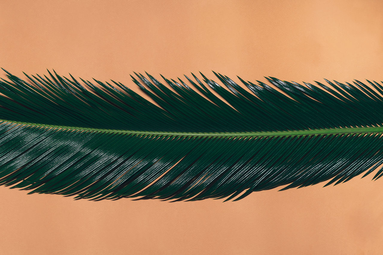 nature, green color, beauty in nature, close-up, no people, frond, clear sky, peacock, fanned out, outdoors, day, fragility, sky, peacock feather, freshness