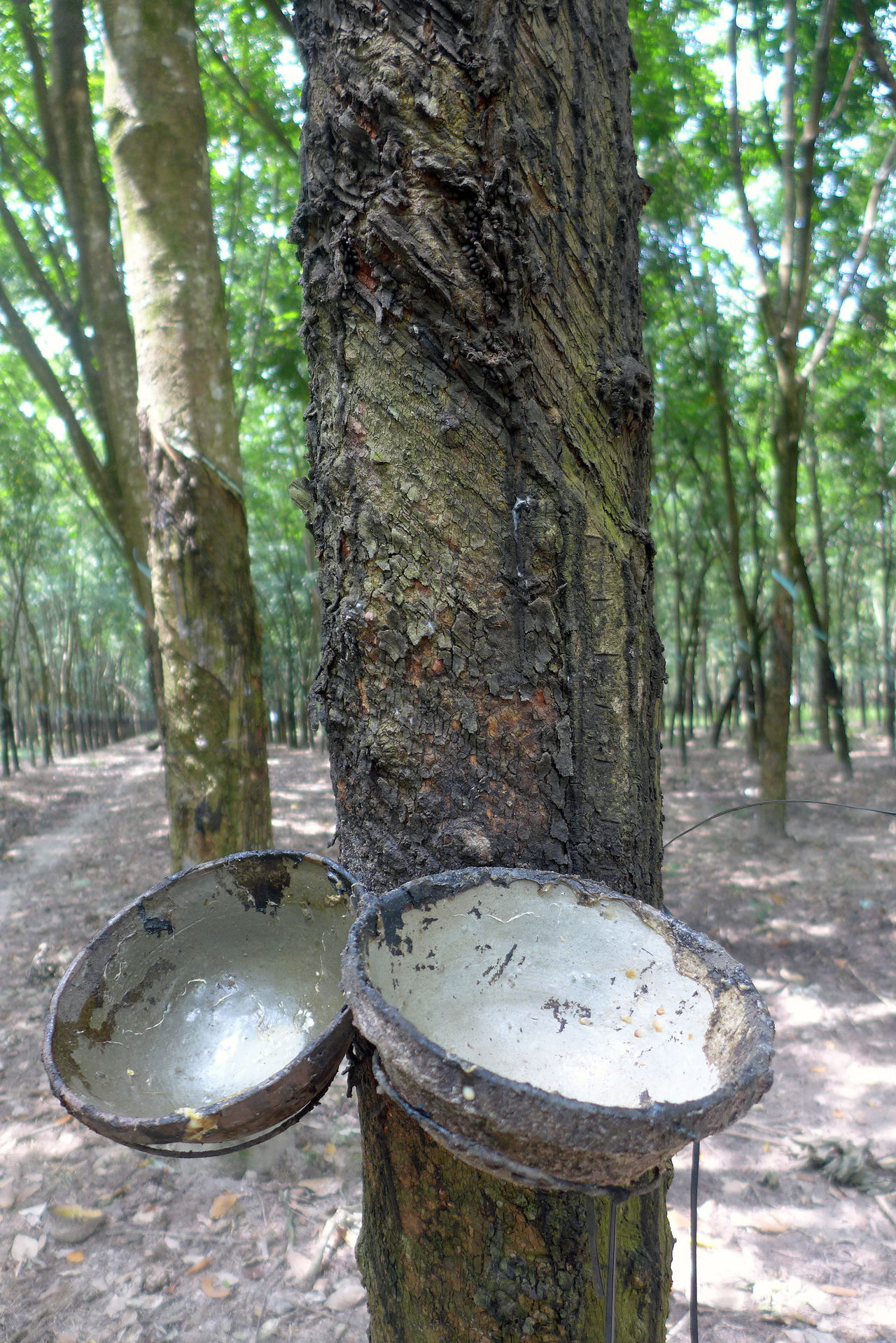 Travel through Vietnam Close-up Focus On Foreground Forest Growth Kautschukplantage No People Rubber Harvest Rubber Plantation Tranquility Travel Photography Tree Tree Trunk Vietnam