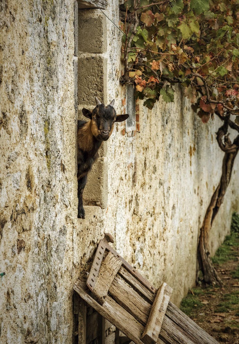 Young goat living on a French gite. Barn Farm Animal France Gite Goat Hiding Kid Peeking Rustic Young Goat