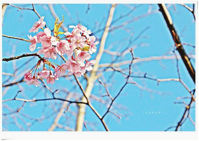 Japan Sakura Flowers Natrual  Good Memory Happy Time