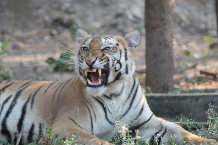 Angry Angry Face Animal Head  Animal Markings Close-up Day Face Focus On Foreground Grass India Indiapictures Mammal Nature No People Outdoors Portrait Teeth Tiger Tiger Face Tigers Wild Animal Wild Animals Wildlife Wildlife Photography Zoo