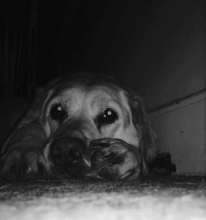 I Love My Dog Dog Labrador Retriever Tired Eyes  Ready For Sleep IPhoneography Blackandwhite