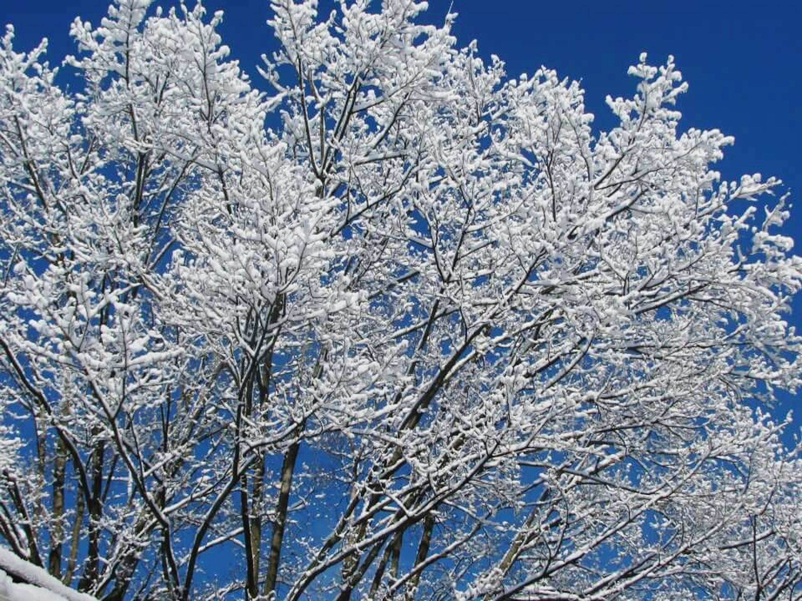 snow, winter, cold temperature, blue, season, white color, clear sky, nature, beauty in nature, tree, low angle view, bare tree, branch, growth, tranquility, frozen, flower, day, weather, outdoors
