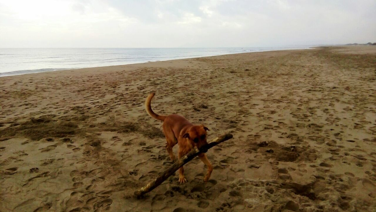 Dog Labrador Bracoaleman Mestizo One Animal Animal Themes Dog Beach Domestic Animals Pets Sea Full Length Horizon Over Water Mammal Sand Water Shore Zoology Walking Sky Tranquil Scene Animal Brown Distant