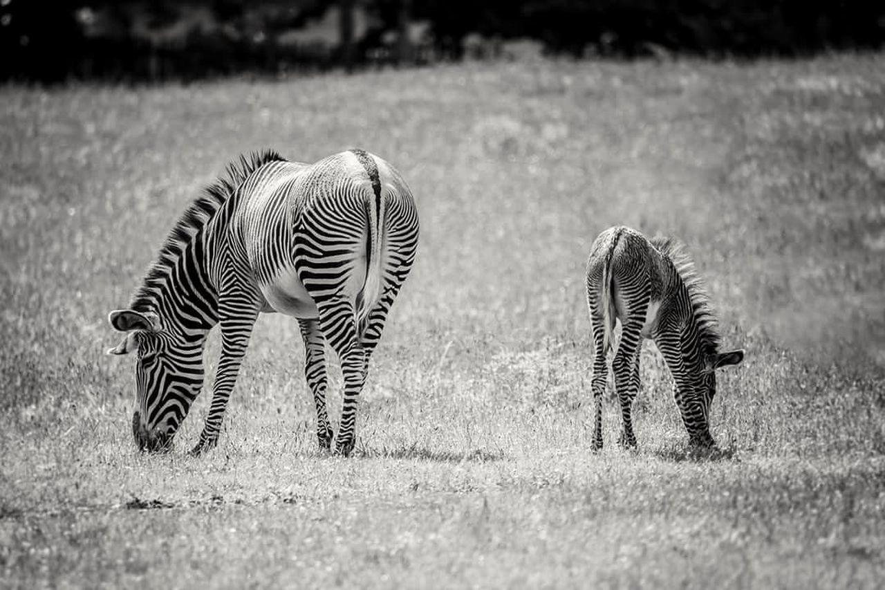 striped, zebra, animals in the wild, animal themes, mammal, grass, animal wildlife, field, day, outdoors, nature, safari animals, animal markings, no people