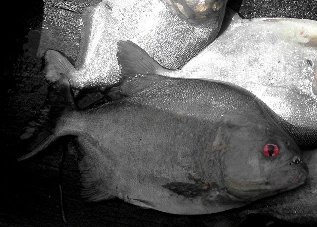 Suriname Piranhas Great Outdoors With Adobe Beauty In Nature Outdoors