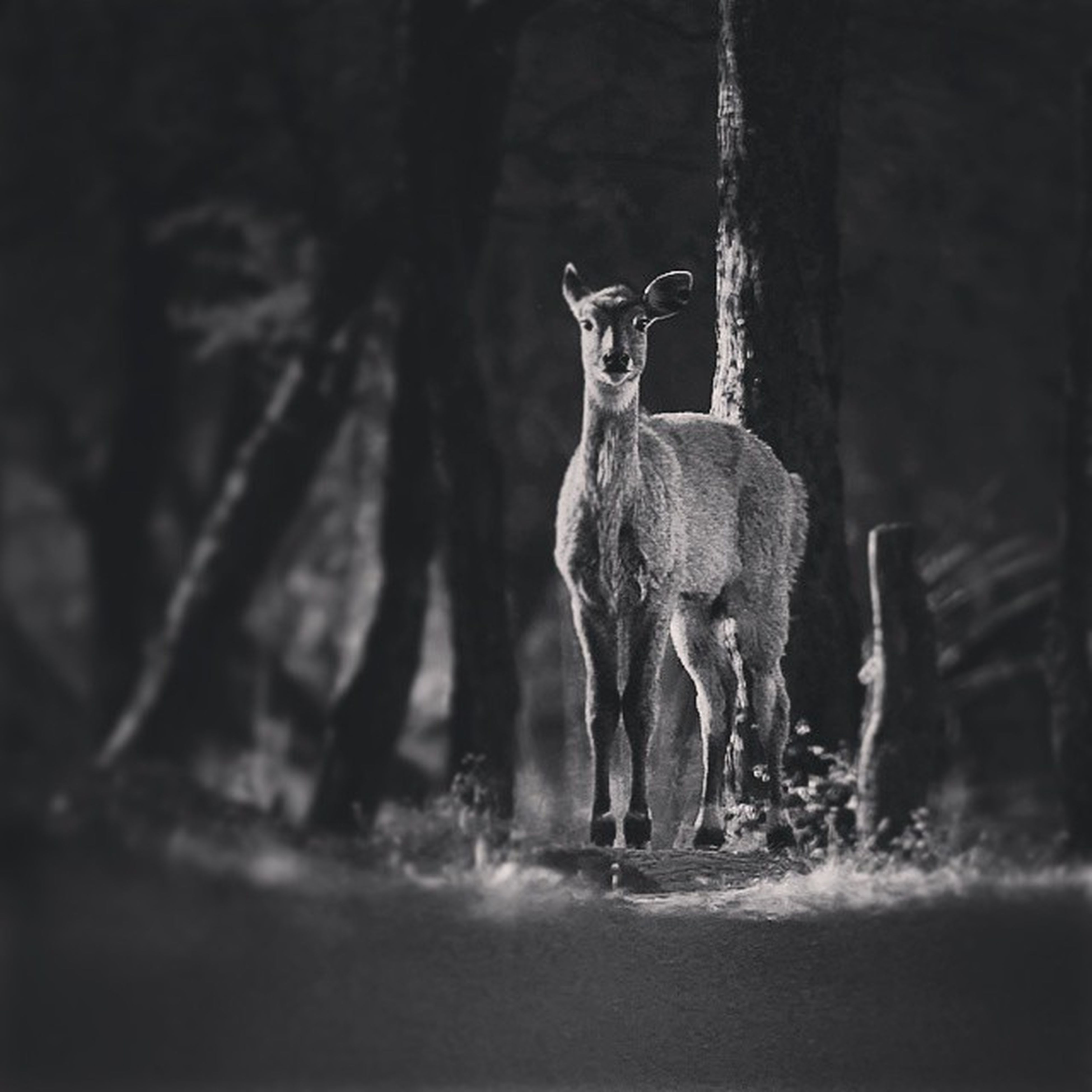 animal themes, mammal, one animal, domestic animals, herbivorous, livestock, full length, animals in the wild, standing, horse, wildlife, two animals, zoology, side view, horned, nature, forest, no people, tree, deer