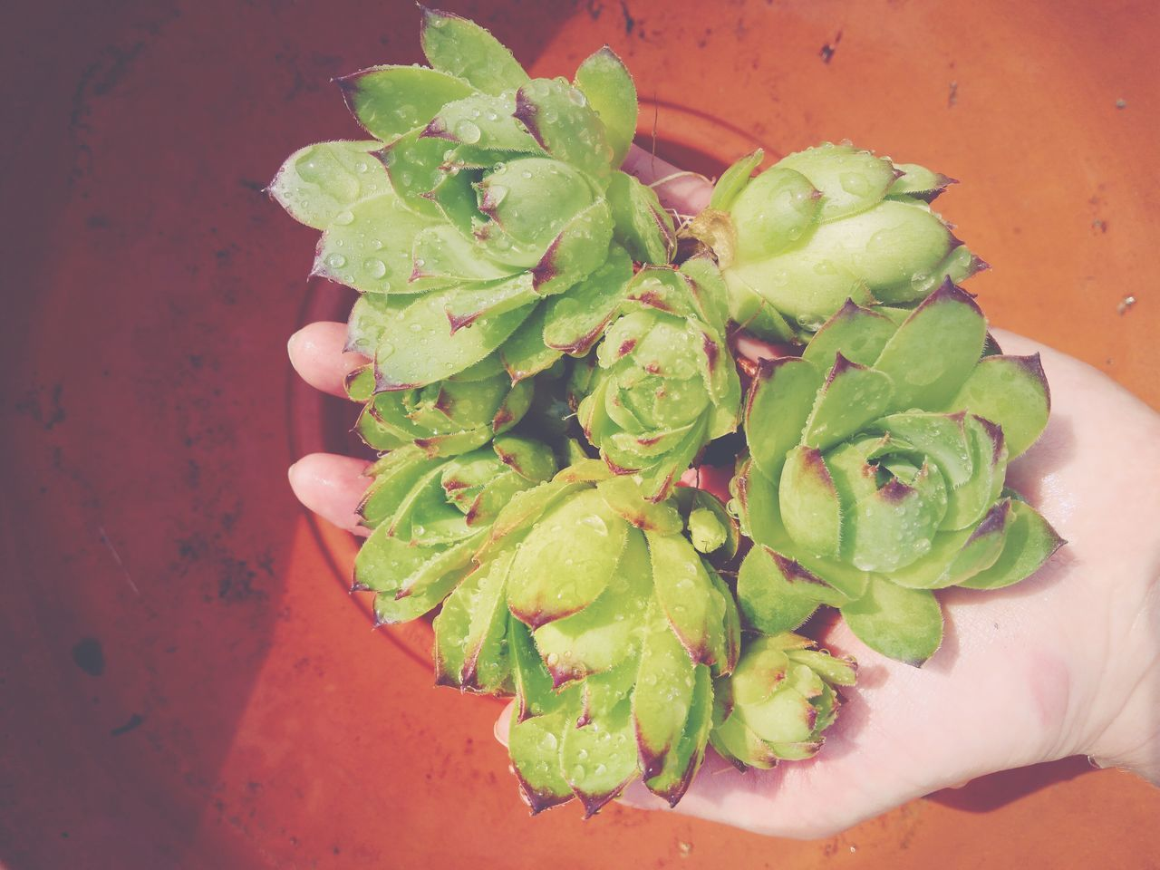 Replanting Houseleek In Hand Handful Succulent Flower Freshness Gardening Teracotta Flower Pot Droplets, Water Droplets, Flowers  Live For The Story