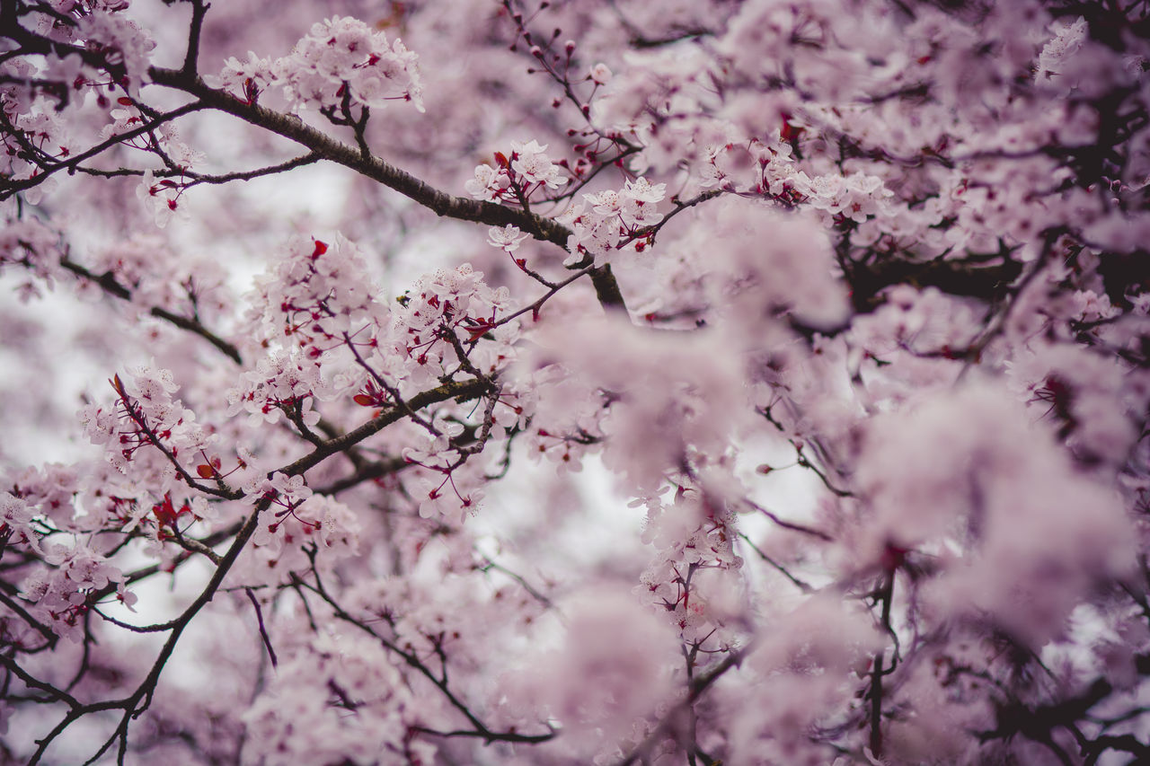 Pink blossoms in spring. Backgrounds Beauty In Nature Blossom Botany Branch Branches Day Flower Fragility Freshness Growth Nature Nature Nature_collection No People Nobody Outdoors Pink Season  Selective Focus Spring Springtime Tree Tree