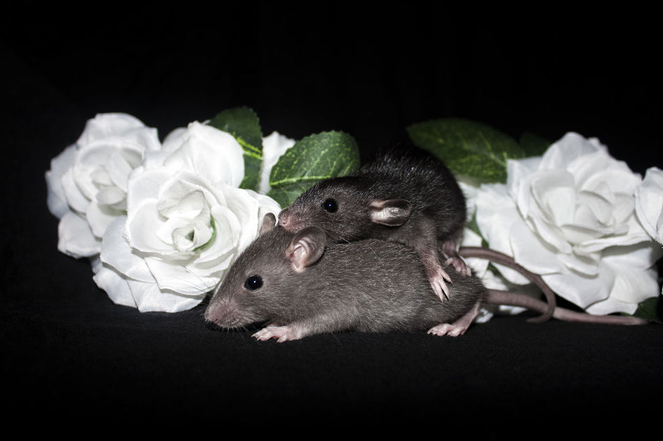 Baby rats Animal Themes Baby Pets Black Background Cute Love Pets Rats Rodents Roses Studio Shot