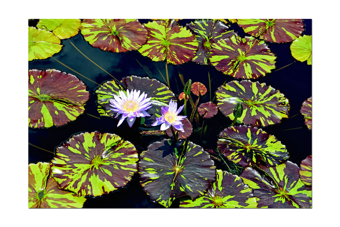 Atlanta Botanical Gardens _ Lilies 2 Lily Pond Nymphaeaceae Reflecting Pool Lily Pads Aquactic Plants Tropical Water Lillies Lotus Garden Garden Photography Garden_collection Nature Landscape Landscape_photography Landscape_Collection Landscape_lovers Fresco