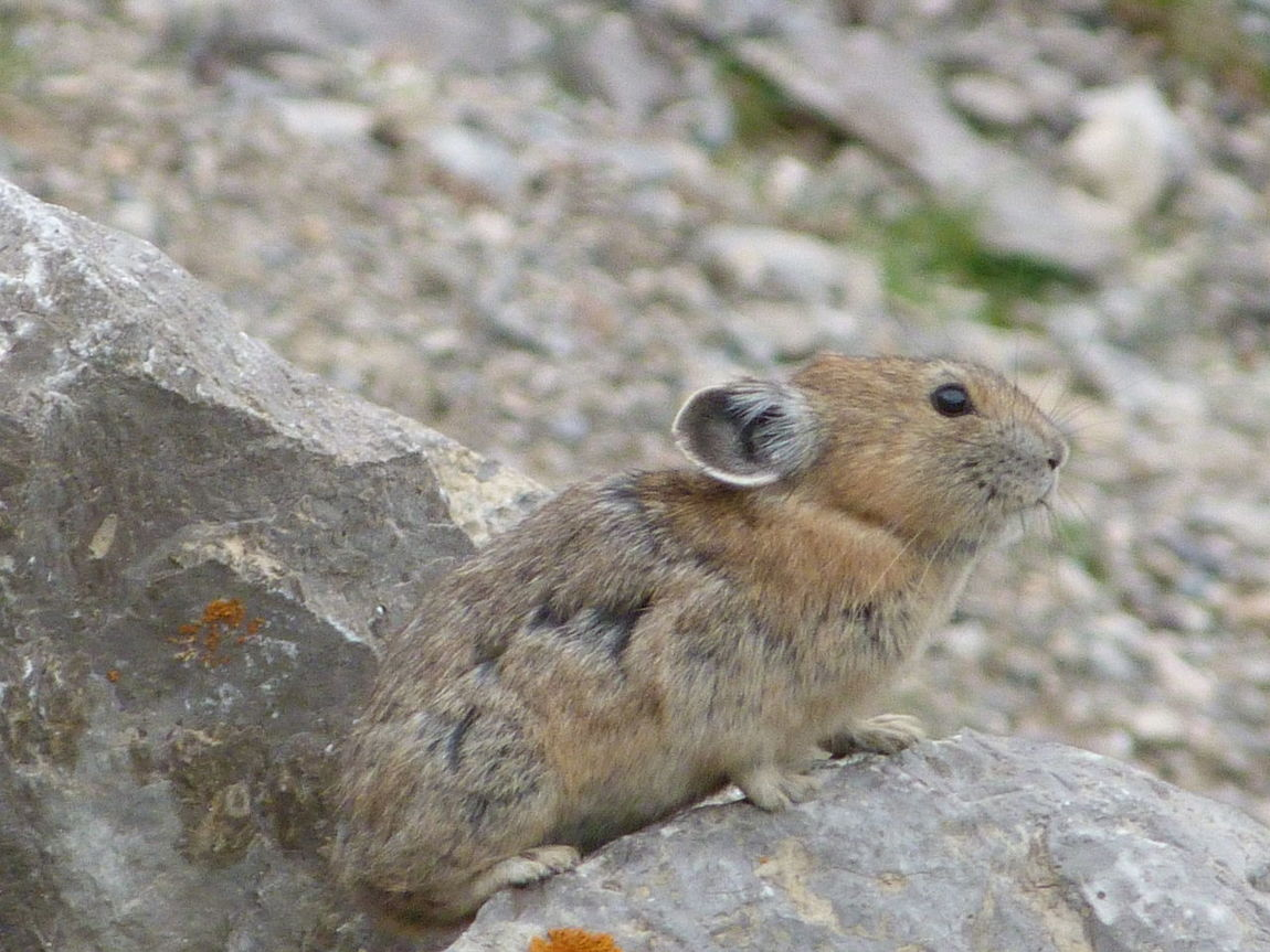Animal Themes Animal Wildlife Animals In The Wild Close-up Day Nature No People One Animal Outdoors Pika Rock - Object