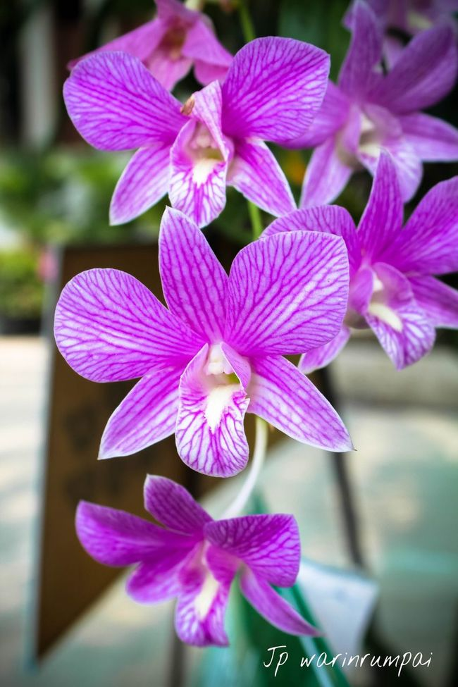 Orchids Flowers Flower Collection StreamzooFlowers