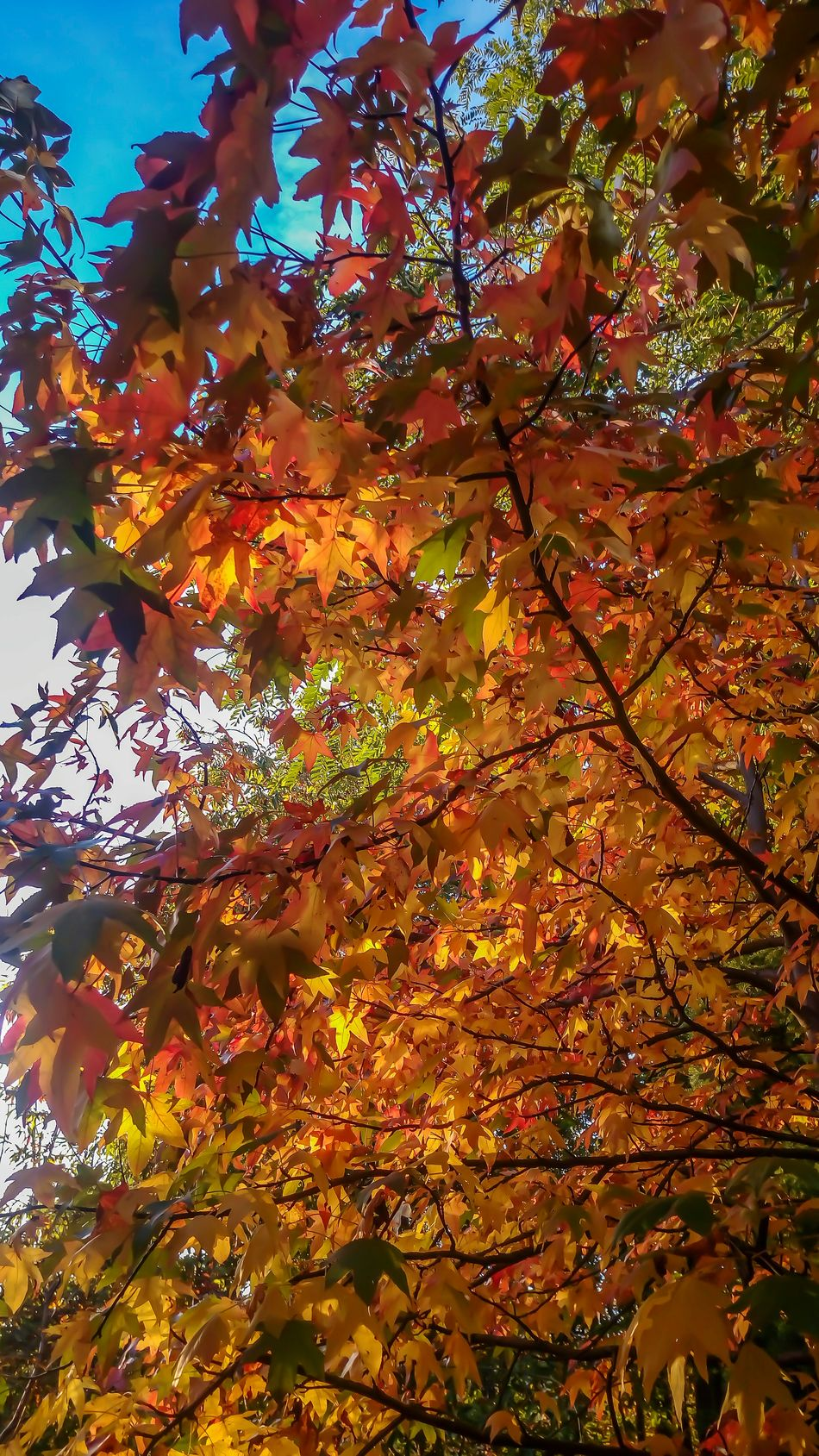 Orange Color Nature Multi Colored Beauty In Nature Tranquility Beauty In Nature Autumn Autumn Colors Mygardentoday Garden Photography StonexOneGalileo Athomeinthemountains Athomeinthewood At Home Sweet Home Countryhouse Countrystyle In The Wood Color Explosion Liquidambar Colors Tree