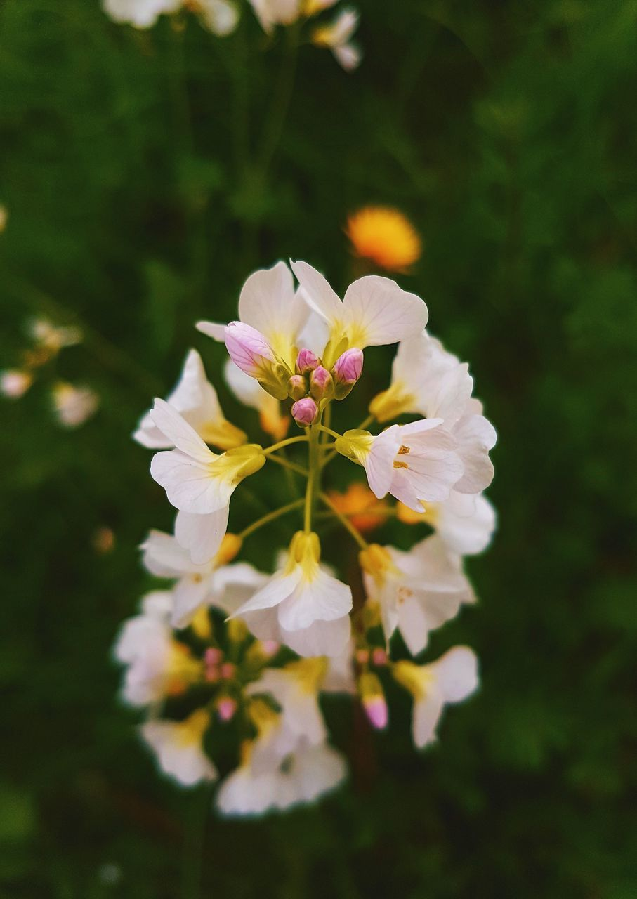 flower, nature, beauty in nature, fragility, petal, growth, white color, freshness, flower head, no people, plant, blooming, outdoors, close-up, day