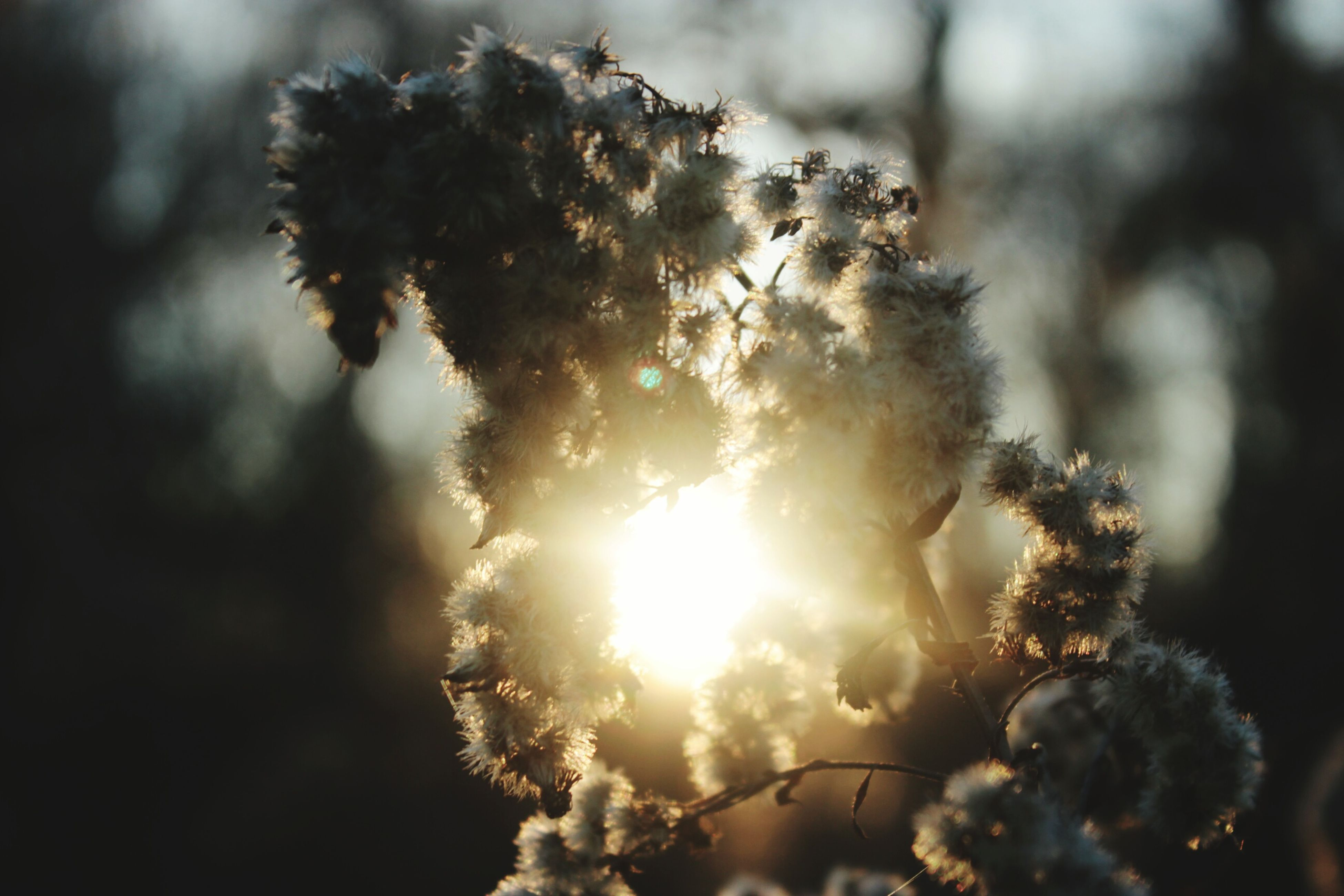 focus on foreground, close-up, nature, flower, sun, growth, beauty in nature, sunlight, fragility, plant, outdoors, lens flare, selective focus, tranquility, tree, no people, sunbeam, day, twig, back lit