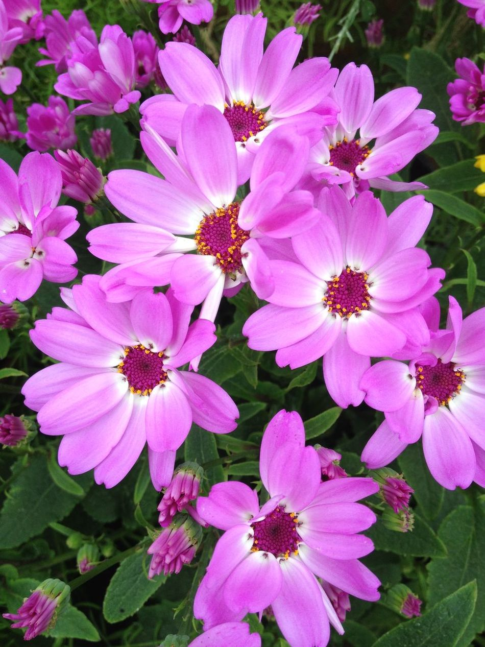 Cineraria flowers Beauty In Nature Blooming Botany Cineraria Close-up Flower Flower Head Flowers Freshness Growth In Bloom Nature Outdoors Petal Pink Plant Purple