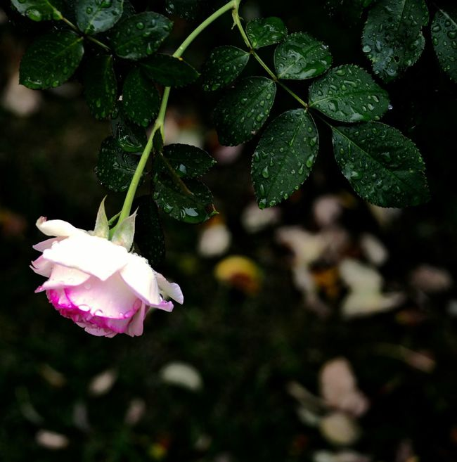 Roses Rosa Fiore Flowers Floeer Rain Rainiday Raindrops Garden Garden Photography Garden Flowers Empathise Sentimental Dreamy
