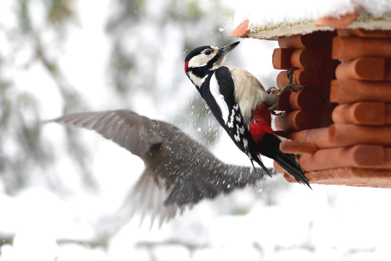 Beautiful stock photos of woodpecker, Animal Themes, Animal Wildlife, Animals In The Wild, Berlin