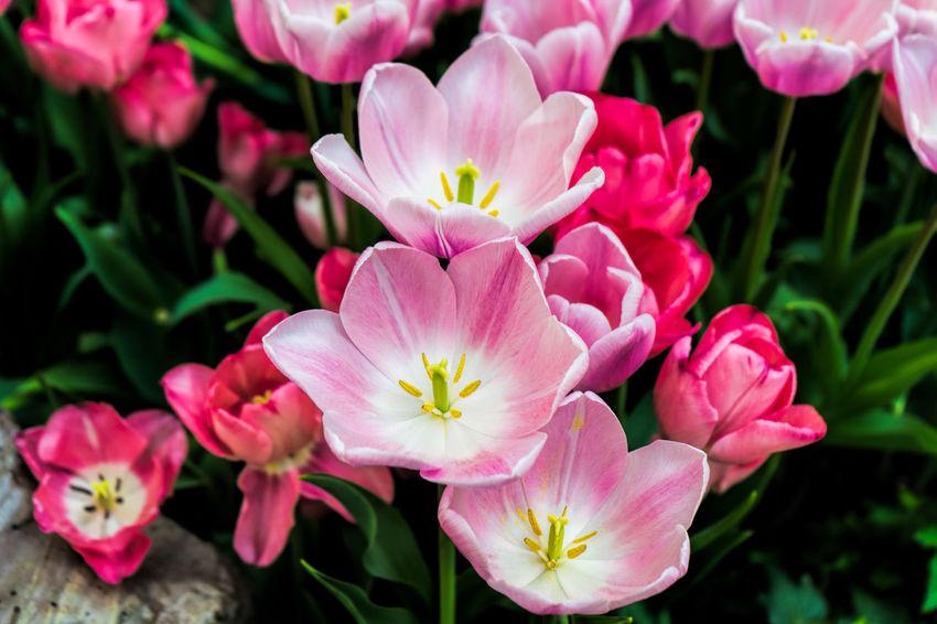 Tulips Tulips🌷 Tulip Flower Flowers Flowerporn Flower Collection Flowers,Plants & Garden Pink Pink Flower Flowers, Nature And Beauty Nature Nature_collection Nature Photography Photography Travel Beautiful Beauty Beautiful Nature Beauty In Nature