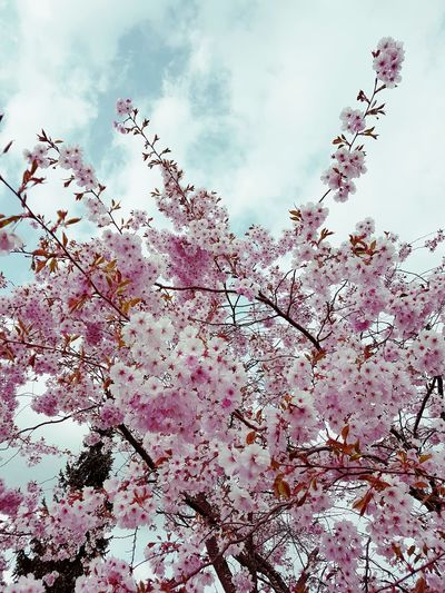 Nature Sky Tree Growth Beauty In Nature Branch Cloud - Sky Outdoors Freshness No People Springtime Fragility Close-up Millennial Pink Day Low Angle View Flower Plum BlossomPink Flower 🌸 Kirschblüte Kirschblüten
