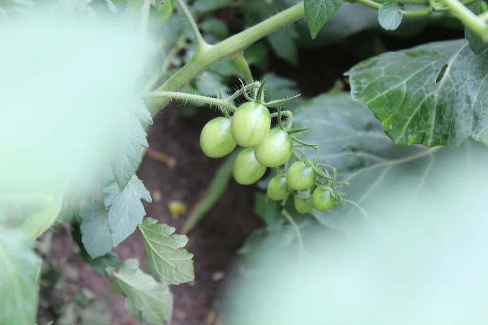 Green Grape Tomato Grown From A Whole Tomato Green Tomato Green Leaves Mygarden Outdoor Plant Wild Urban Garden Tomatoes Grape Tomatoes Garden Only In Detroit How To Plant A Whole Tomato July Showcase Urban Garden